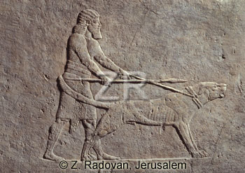 1029 Assyrian hunting dog