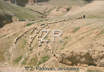 1530-8 Sheep near Jericho