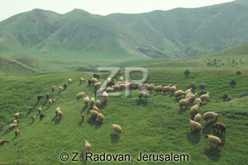 1531-10 Grazing sheep
