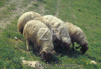 1531-21 Grazing sheep