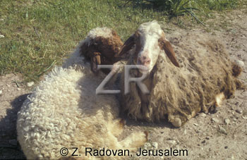 1531-25 Grazing sheep