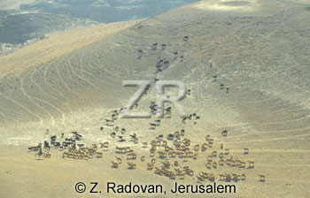 1651-3 Herds in the Negev