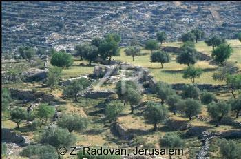 2135-12 Olive trees