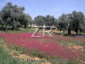 2135-13 Olive trees
