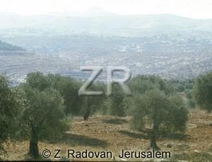 2135-7 Olive trees