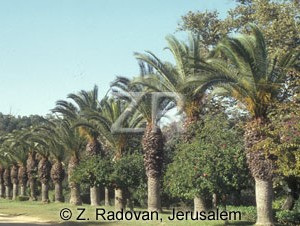 2136-1 Date trees