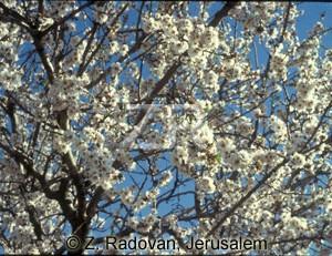2137-2 Almond blossom