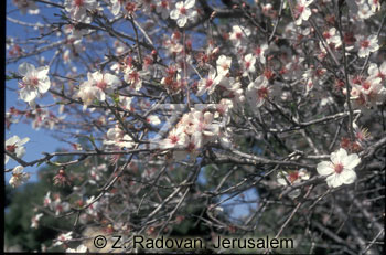 2137-9 Almond blossom