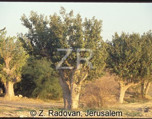 223-2 Sycamore tree