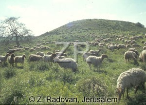 2247-2 Sheep grazing
