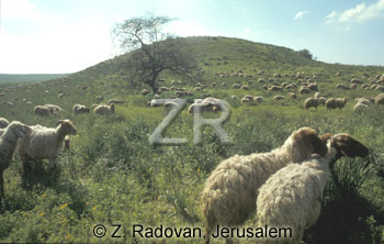 2247-3 Sheep grazing