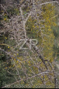 2252-4 Crataegus thorn