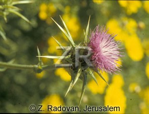 2253-2 Holy thistle