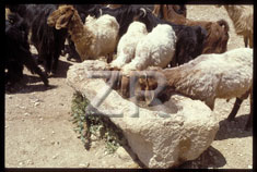 2255 Sheep and trough