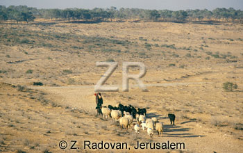 2276-1 Sheep in the Negev
