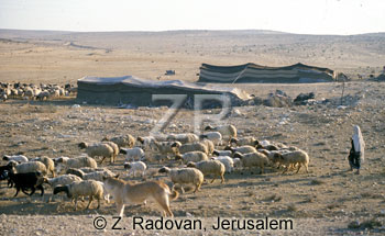 2276-2 Sheep in the Negev