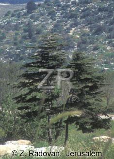 2306-3 Cedar tree