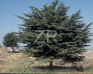 2306-4 Cedar tree