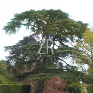 2306-5 Cedar tree