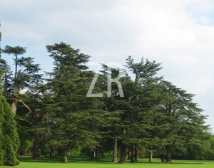 2306-6 Cedar tree