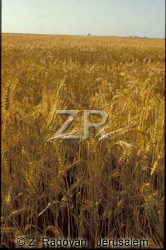 2354-3 Wheat