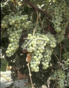 2355-6 Grapes