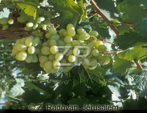2355-7 Grapes