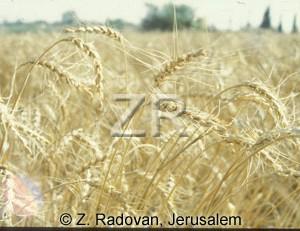 2384-2 Barley