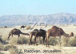 2534-2 Camels