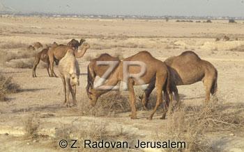 2534-4 Camels