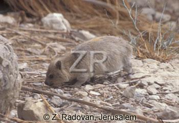 2631-2 Rock Badger