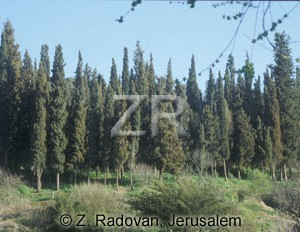 3074-1 Cypress trees