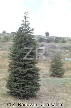 3074-2 Cypress trees