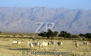 3143-1 Orix antelope