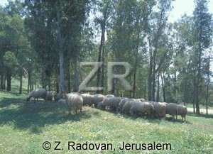 3403 Sheep on Mt Carmel