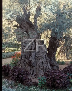 366-1 GethSmane trees
