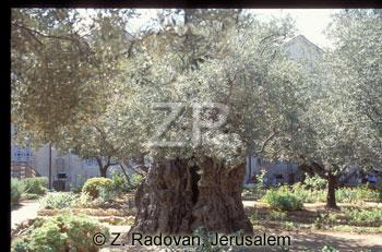 366-2 GethSmane trees