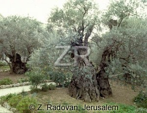 366-3 GethSmane trees