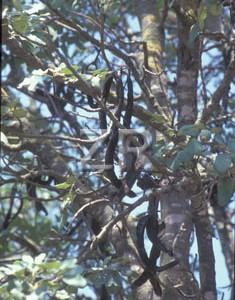 3684-2 Carob tree