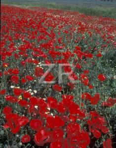 3685-1 Poppy field