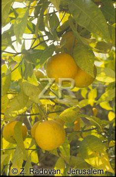 3890-4 Oranges