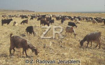 4422-2 Goats grazing