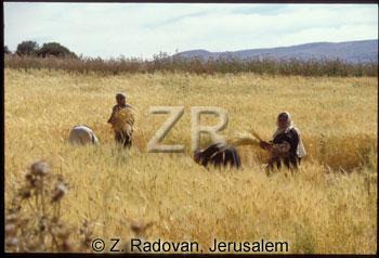 696-5 Wheat gathering