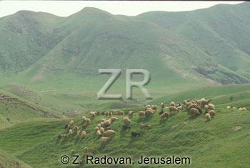 1531-6 Grazing sheep