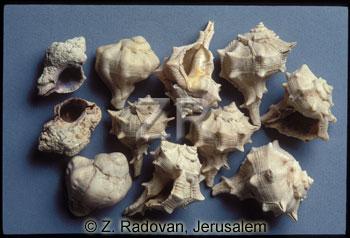 1574-3 Murex shellfish