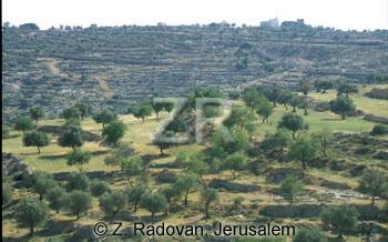2135-11 Olive trees