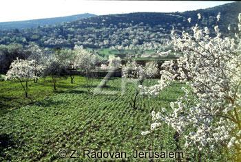 2137-14 Almond blossom
