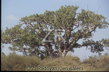 223-6 Sycamore tree