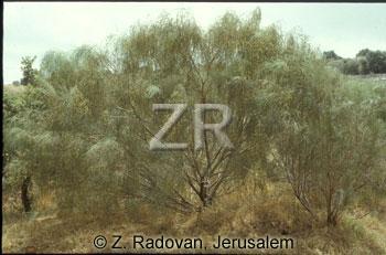 2249-1 Tamarisk tree