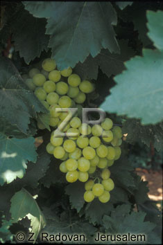2355-4 Grapes